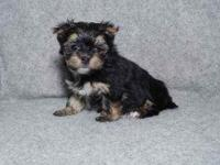 Teacup Yorkie puppies ready to go to their new homes.