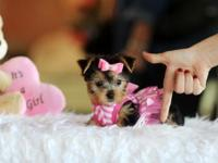 Cute AKC Teacup Yorkshire Terrier Puppy for Adoption -