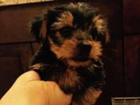 Star is a tiny, tiny teacup female Yorkie. She's