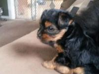 Teacup yorkie puppies. 4 weeks old today. Tails docked,