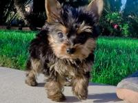Teacup Yorkie puppies Available NOW. Text (832)