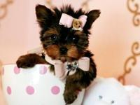 Male and female teacup yorkie puppies available with