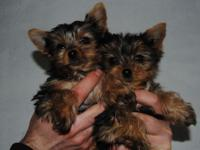 Teacup Yorkie Puppies for Adoption, I have this male