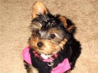 Male and Female Yorkies puppies for