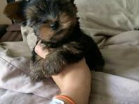 AKC registered Teacup Yorkie puppies. 11 weeks old.