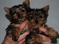 Animal Type: Dogs Breed: Yorkie Teacup Yorkie Puppies
