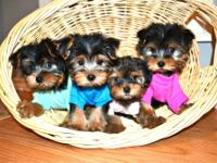 Gorgeous Teacup Yorkie Puppies For New Homes.Text Us On