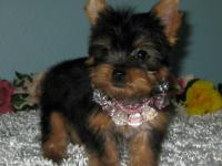 �Teacup Yorkie Puppies For Rehoming NOW !! (832)