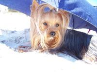 I have purebred CKC registered teacup Yorkie puppies