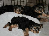 Puppies are pure-breed Yorkie Puppies. They come with