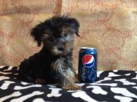 These 10 weeks old Male and female Yorkshire terrier