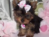 Teacup Yorkie Puppies(817) 398-3954 Charming Teacup