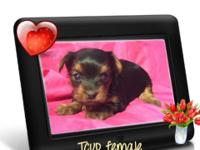 We have 2 small purebred Yorkie females. They are up to