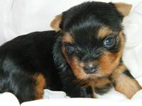 I have this teacup yorkie female available for deposit.