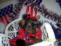 Molly is a small little teacup yorkie--just too cute.