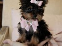 Beautiful teacup Yorkie puppy for free adoption.She