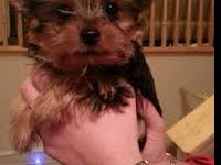 Teacup Yorkie Puppy. She is boxy, has a nice thick