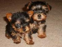 We have two healthy teacup Yorkie Pups for adoption.