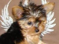We have some absolutely adorable Teacup Yorkie's about