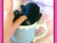 We hav a stunning litter of yorkiepoo's born jan 23.