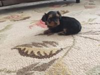 3 female teacup yorkies with papers for sale. Up to