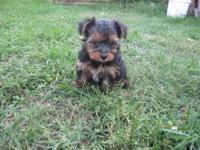 AKC Teacup Yorkies 1 Male $1000. Estimated adult weight