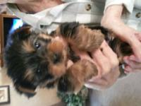 Beautiful teddy bear faced teacup yorkies looking to
