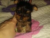 1 male 1 female teacup yorkies . shots ,tail docked,