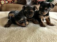Teacup yorkies for sale. Born 11/16/17 will be ready in