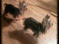 Great little dogs male is 2 lbs and female 3 pounds