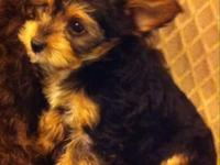 Perky little designer young puppy! Female born Nov 27.