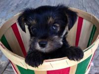 MALES ready now! 2 very sweet Yorkie pups. * they are