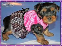 We have been breeding Teacup Yorkies for 5 1/2 years