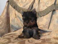 Stunning Teacup Ch Bloodline Male Yorkshire Terrier