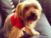 Animal Type: Dogs Breed: Yorkshier Terrier She is vet