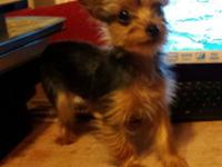 I have a TRUE female teacup yorkie that I need to