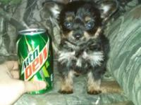 1 small yorkie looking good home ONLY..Born on 1/18/15.