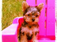 We have a very smart loving purebred teacup yorkie