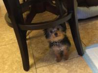6 month old teacup yorky very lovable and active loves