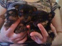 3 male small yorkies looking real great houses. Born