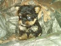 2 male small yorkies left looking real good homes ONLY.