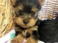 2 male yorkie puppies available now they are 11 weeks