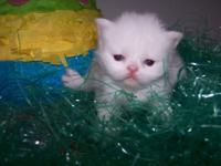 One blue eyed White female teacup kitten for $900 and