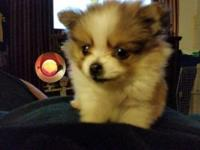 1 teacup male Pom. He was born 11-6-2014. He is brown