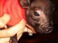 I have one little boy potbelly pig available in this