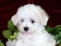 Just the most healthy and stunning Maltipoo young