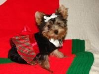 AKC registered teacup Yorkie puppies available for