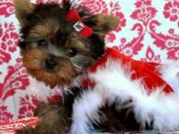 Teacup Yorkie Pups Text::(747) 777-8461  Hello, my