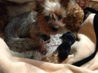 I have two female teacups Yorkies that will be