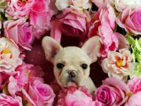 puppies click WWW.TEACUPPUPPIESSTORE.COM WE SPECIALIZE